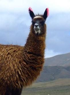Llama Pregnancy Calculator Gestation Calculatorcom