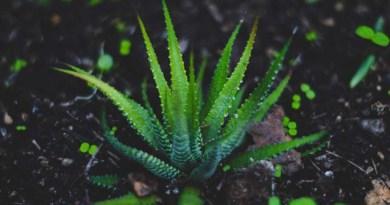 Die Wüstenlilie – was ist Aloe Vera eigentlich genau?