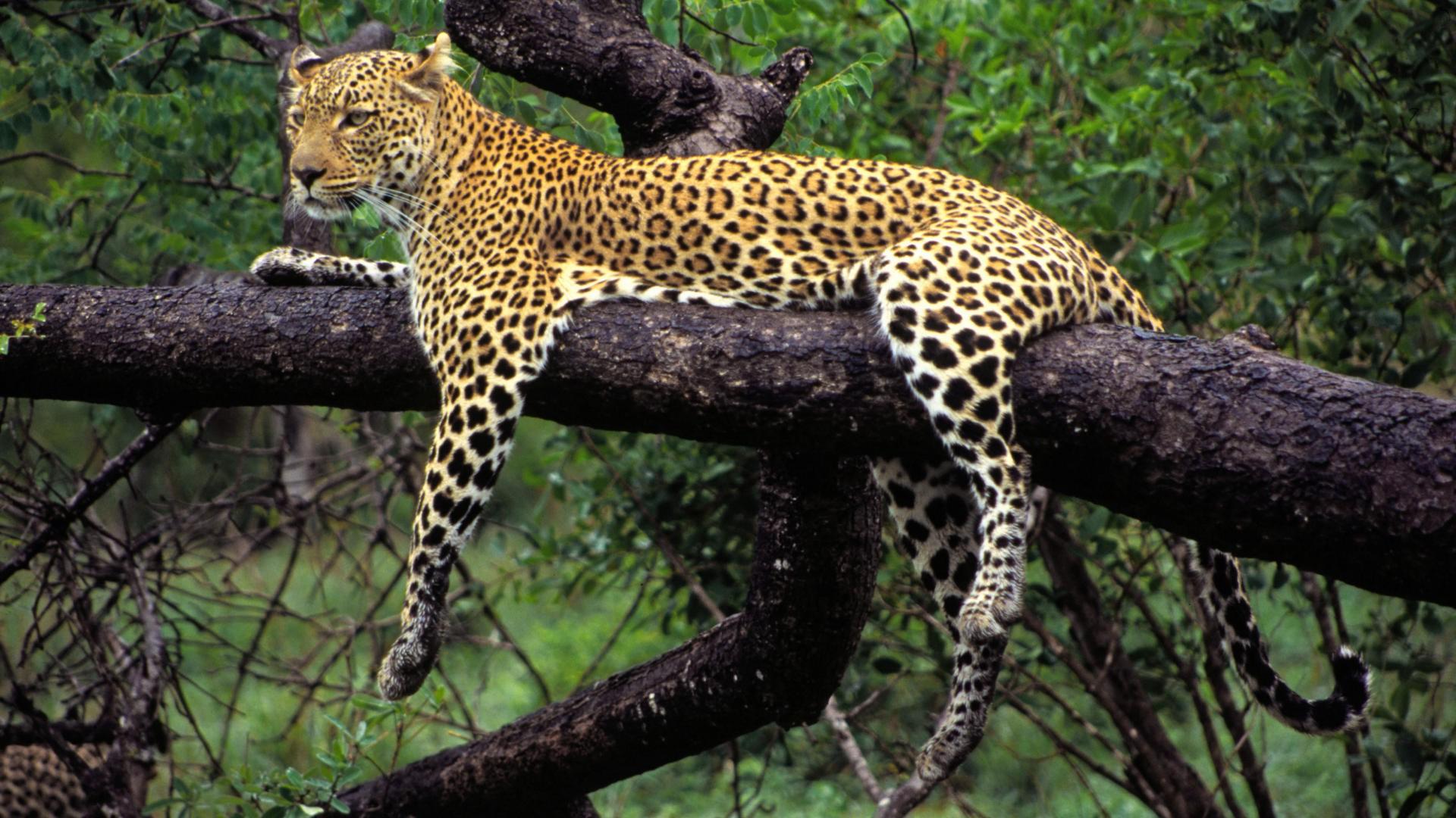 Wallpaper Animals Branch Wildlife Big Cats Jungle