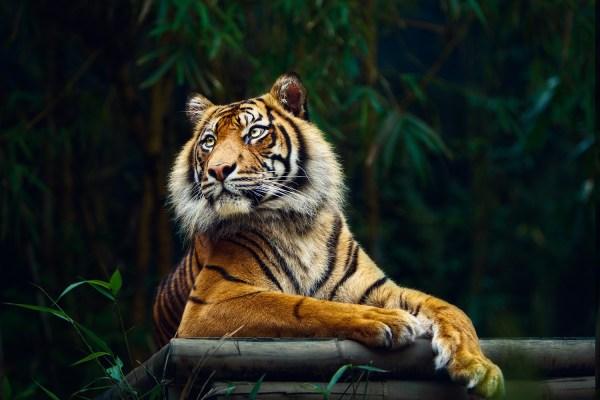 обои : Животные, Тигр, Дикая природа, Большие кошки ...
