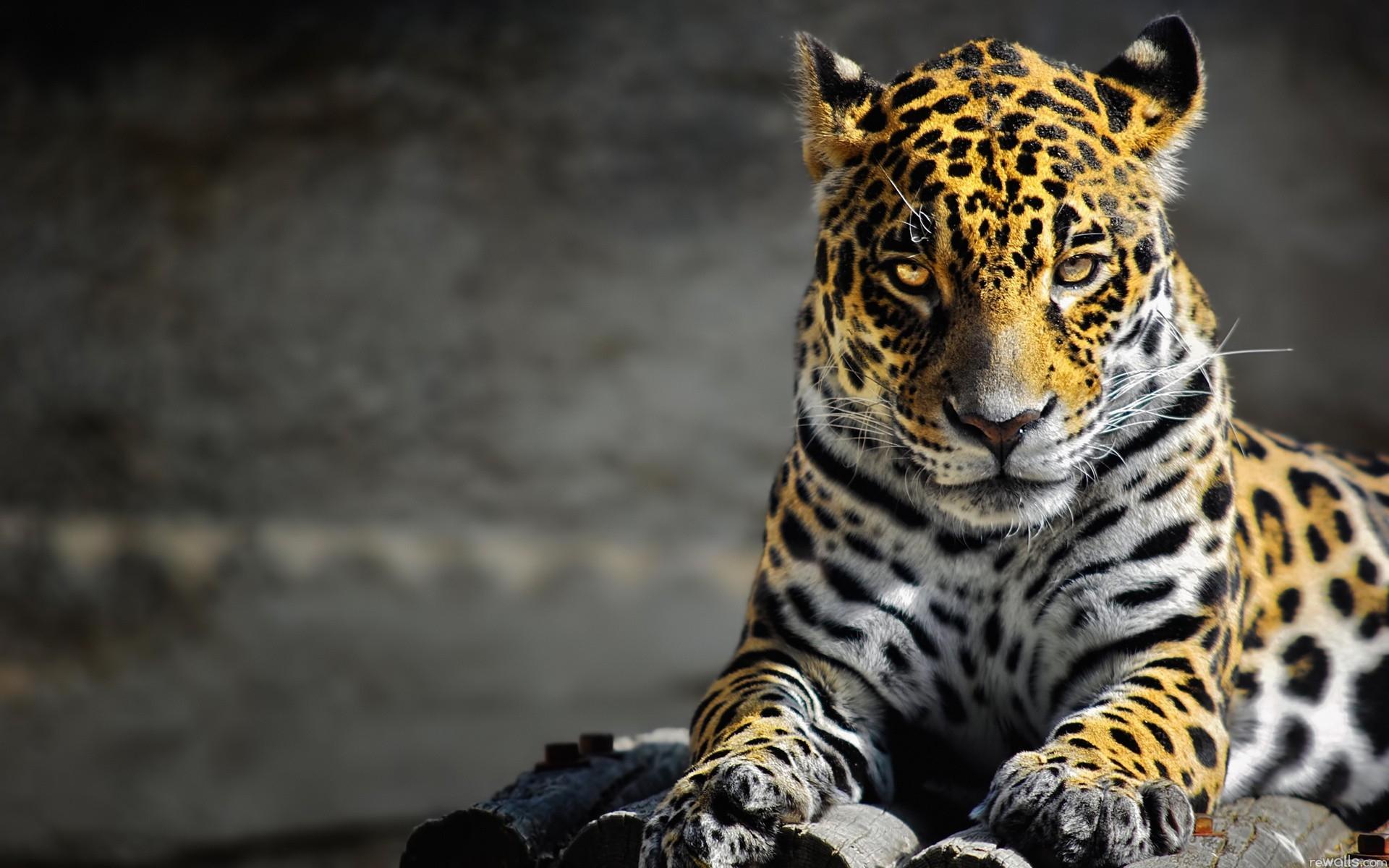 wallpaper : wildlife, big cats, whiskers, leopard, jaguar, cheetah