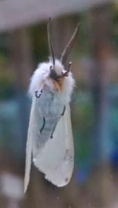 White Moth Underside