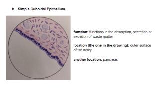 Epithelial Tissue.