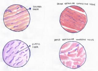 Connective Tissue 1