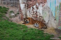 Bengal Tiger in Animal Kingdom
