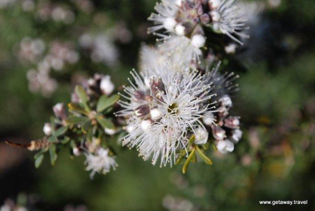 Tasman foliage