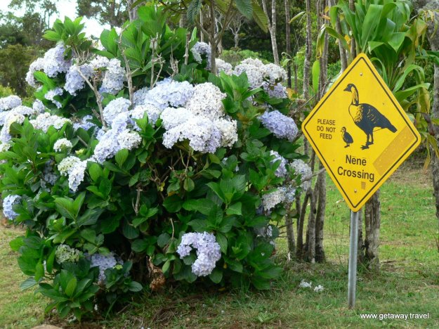 Road past Waimea leads to Koke'e state park where you should not feed the Nēnē.