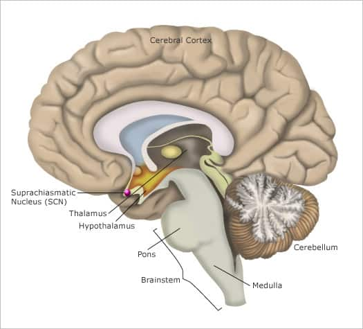 The location of the suprachiasmatic Nucleus (SCN) in each hemisphere of the brain