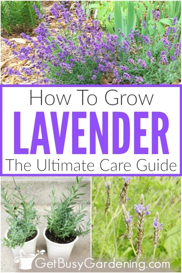 how to care for lavender plants get