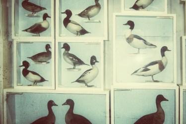 Ducks. Lots of them.
