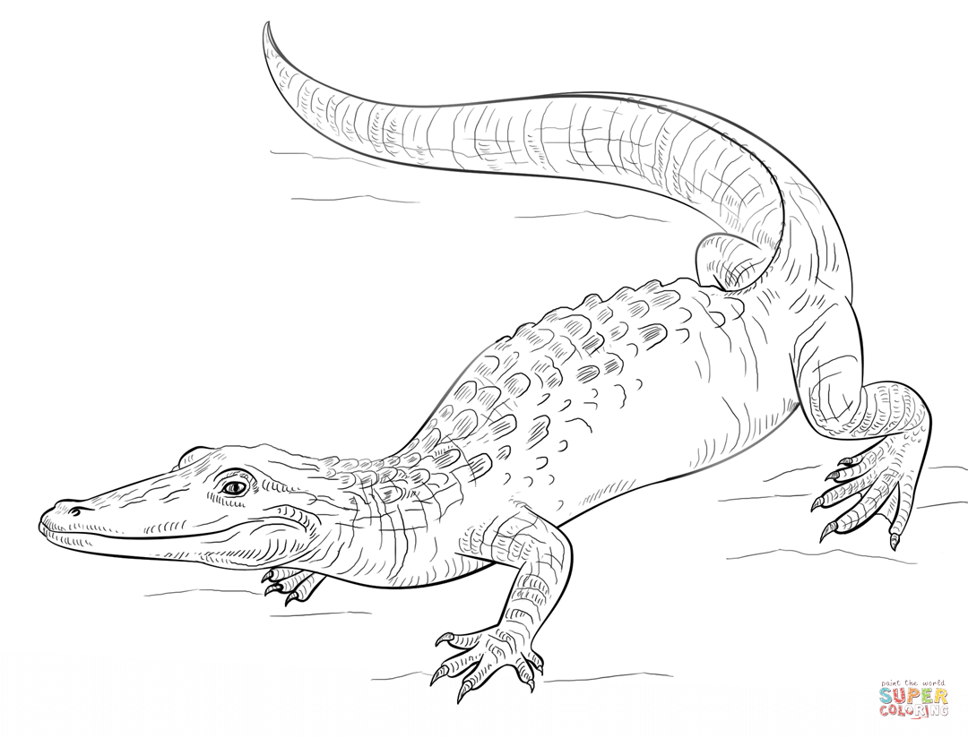 American Alligator Coloring Page At Getcolorings