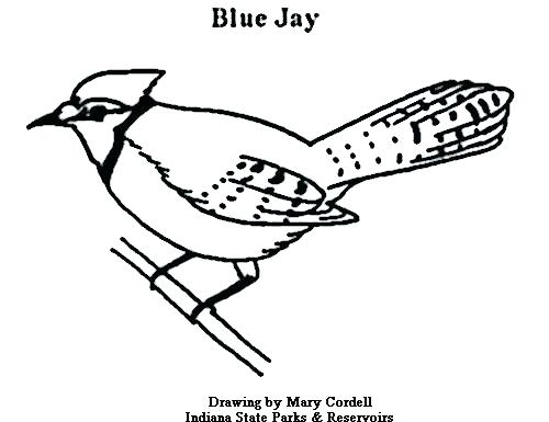 blue jay coloring page at getcolorings  free