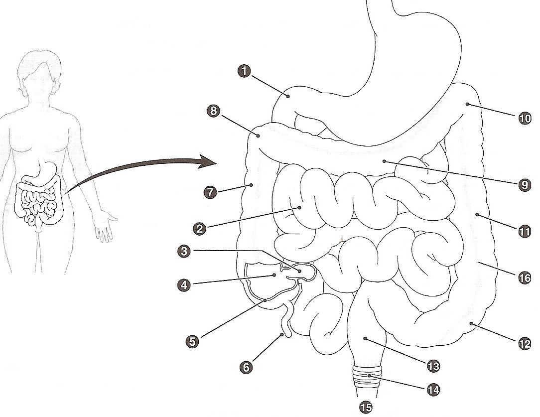 Digestive System Coloring Page At Getcolorings