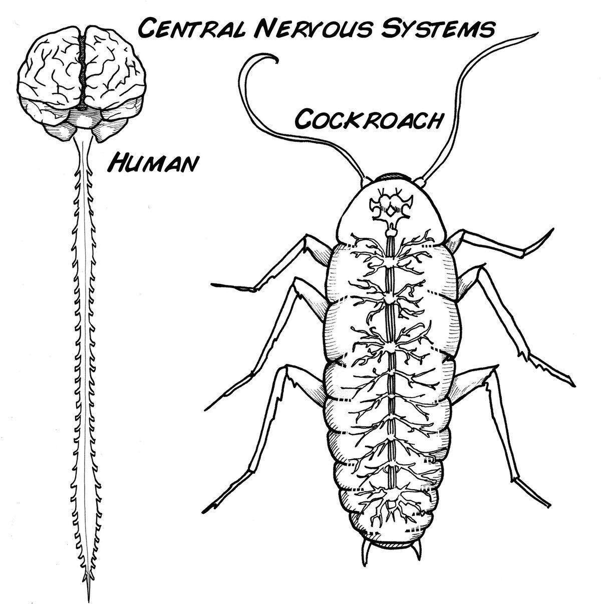 Nervous System Coloring Page At Getcolorings