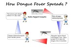 How Dengue Fever Spreads and Affects the Human Body?