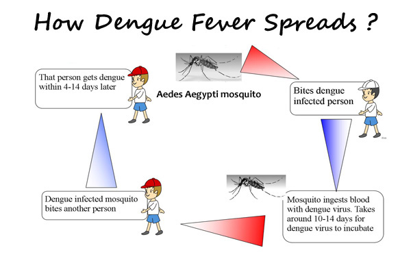 Dengue Fever Infects La Fte De >> How Dengue Fever Spreads And Affects The Human Body Getcured