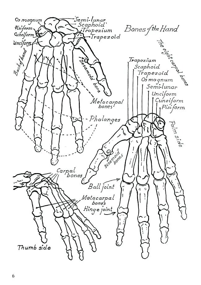 Human Anatomy Coloring Pages at GetDrawings | Free download