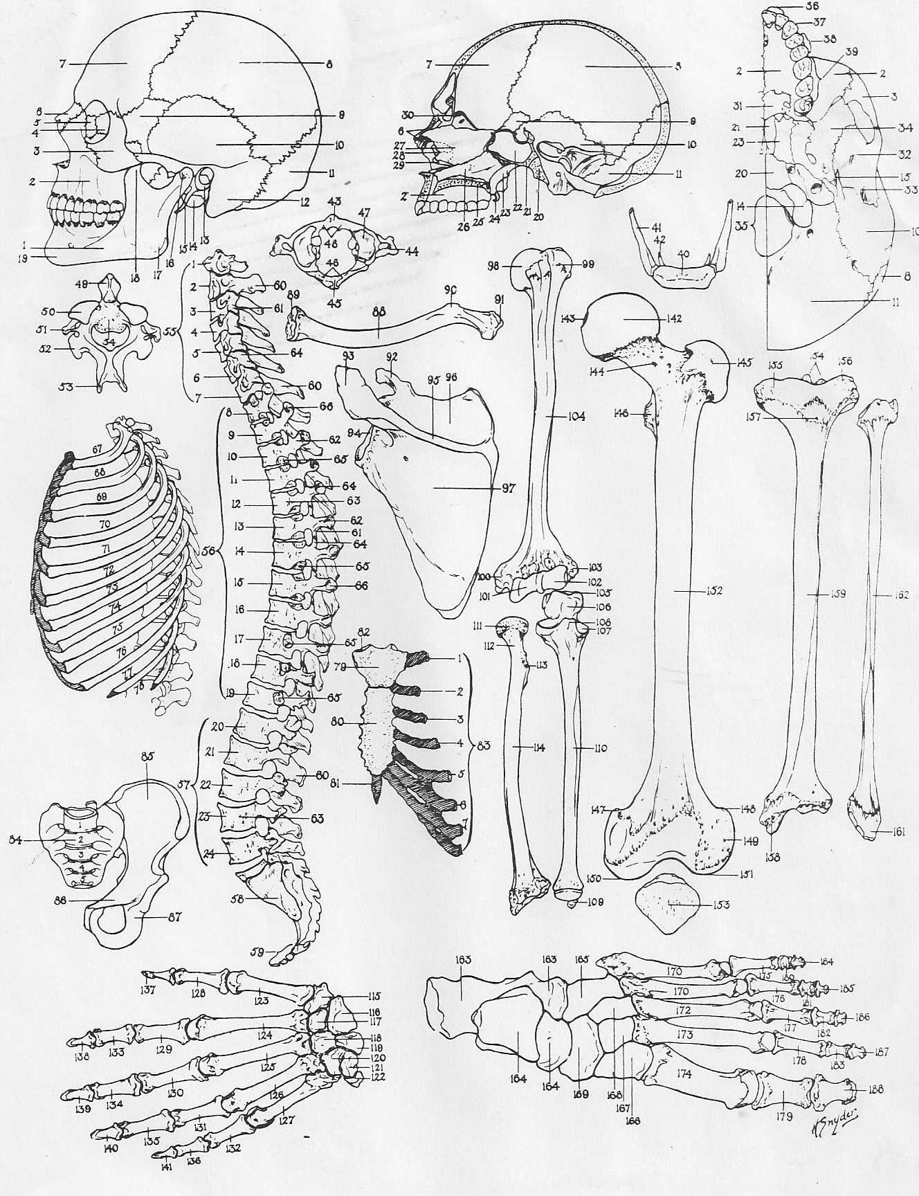 Human Anatomy Coloring Pages Printable At Getdrawings