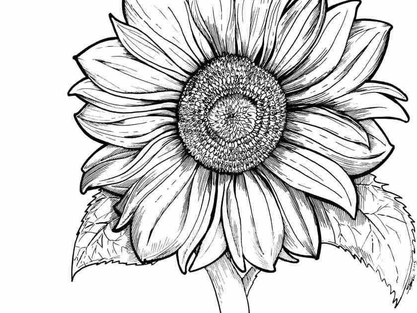 sunflower coloring pages for adults at getdrawings  free