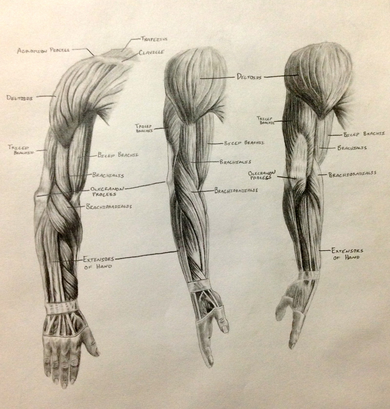 Arm Muscle Drawing At Getdrawings
