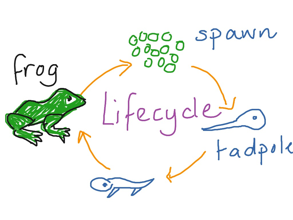 Life Cycle Of A Frog Drawing At Getdrawings