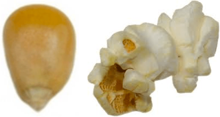 Popcorn Kernel Drawing At Free For
