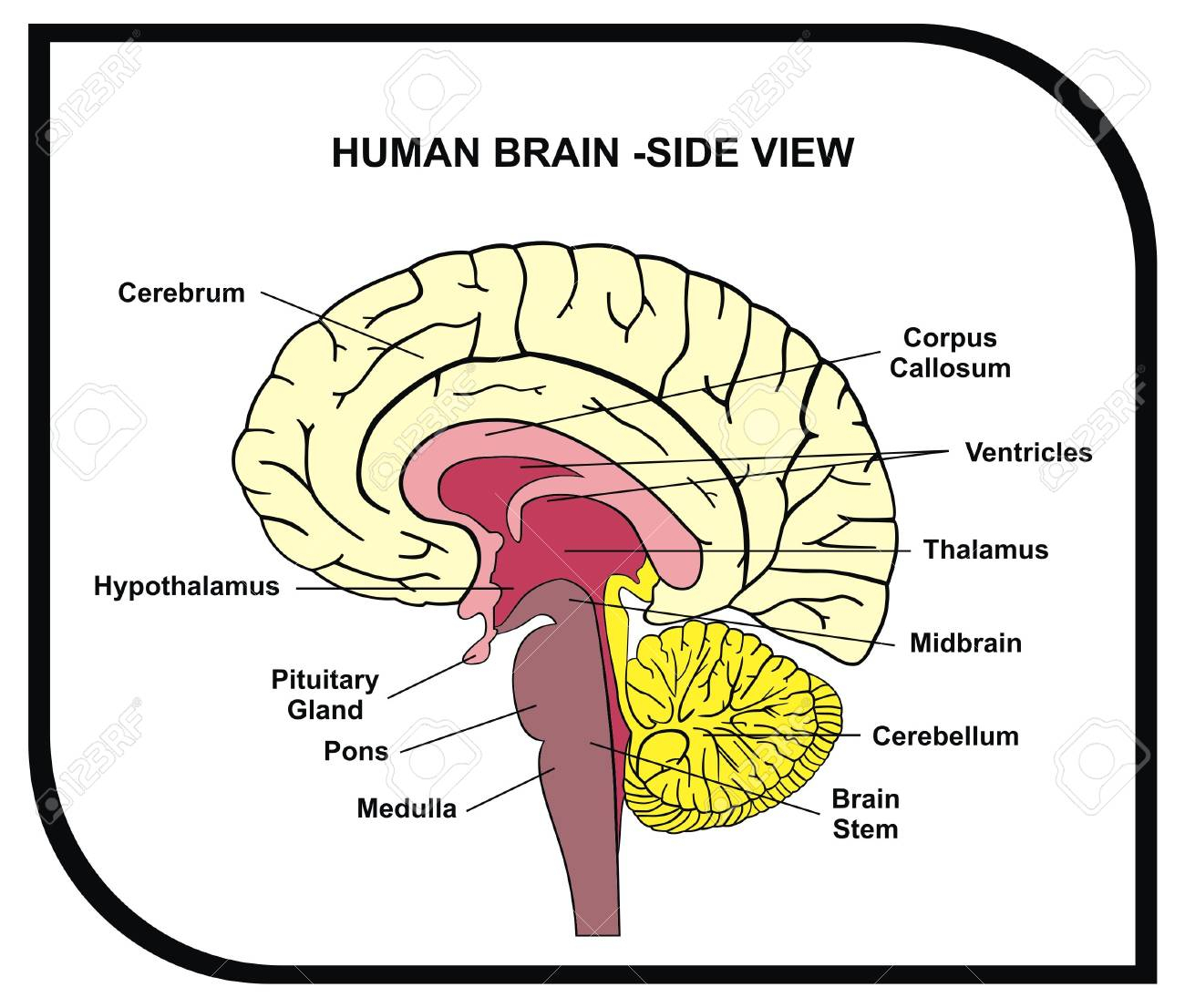 Simple Brain Diagram With Labels - DIY Enthusiasts Wiring Diagrams •