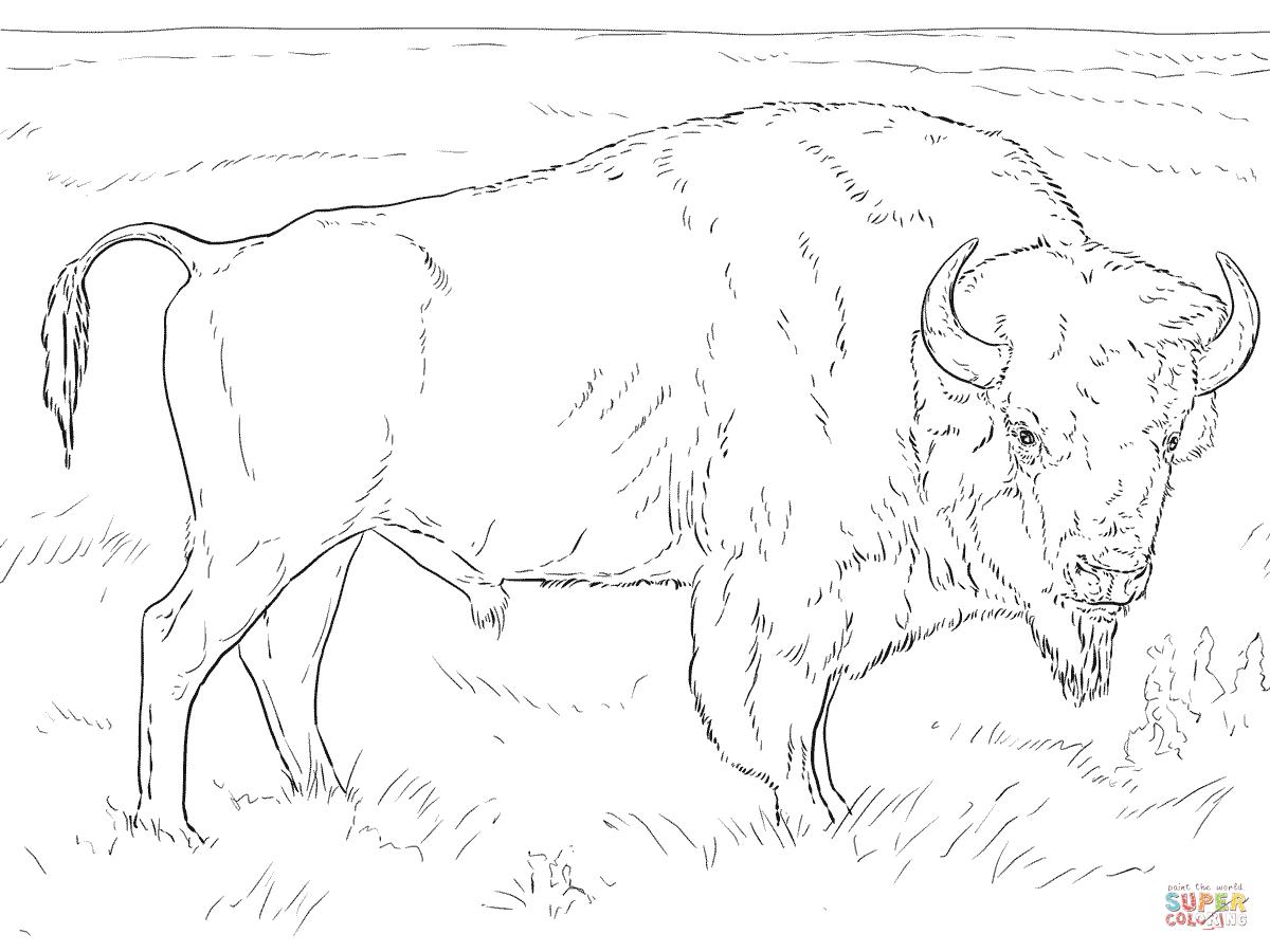 American Bison Drawing At Getdrawings