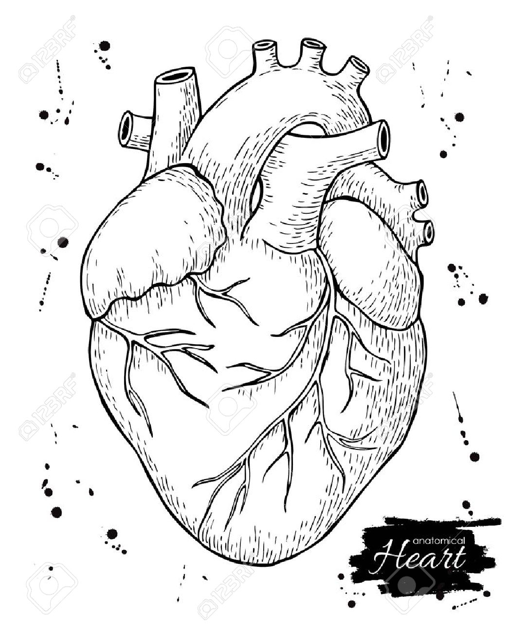 Anatomical Drawing Heart At Getdrawings