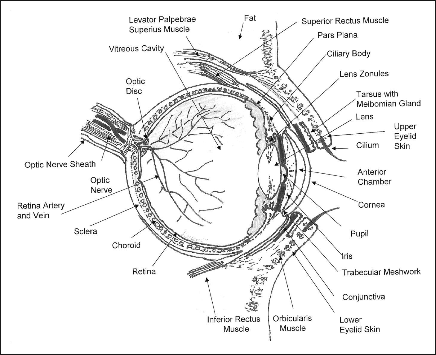 Anatomy Of The Eye Drawing At Getdrawings