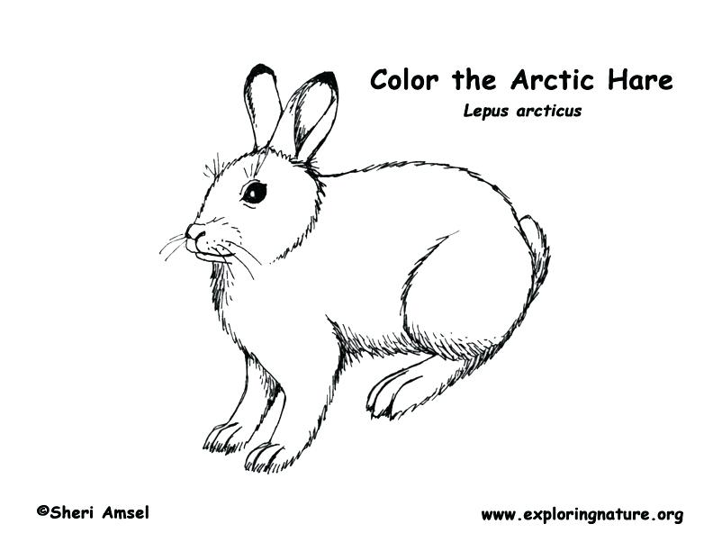 arctic hare drawing at getdrawings  free download