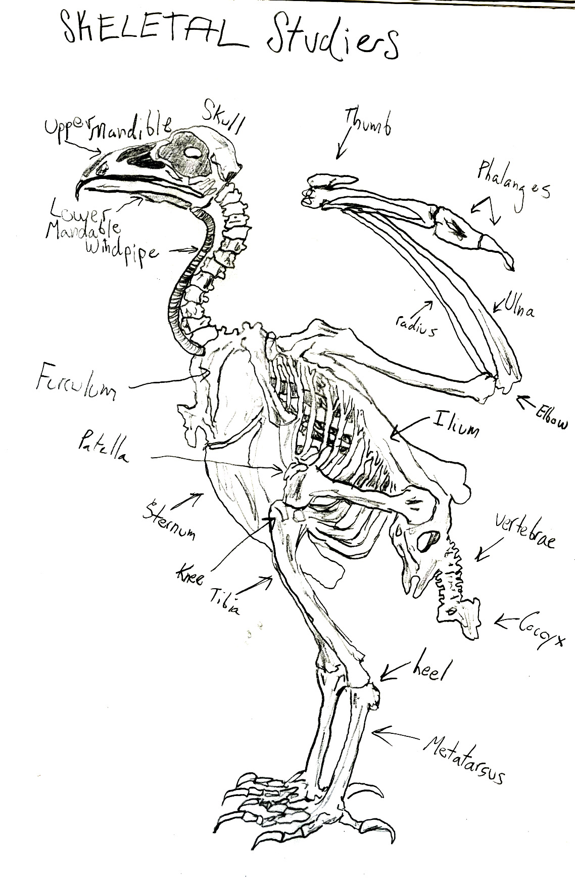 Bird Wings Drawing At Getdrawings