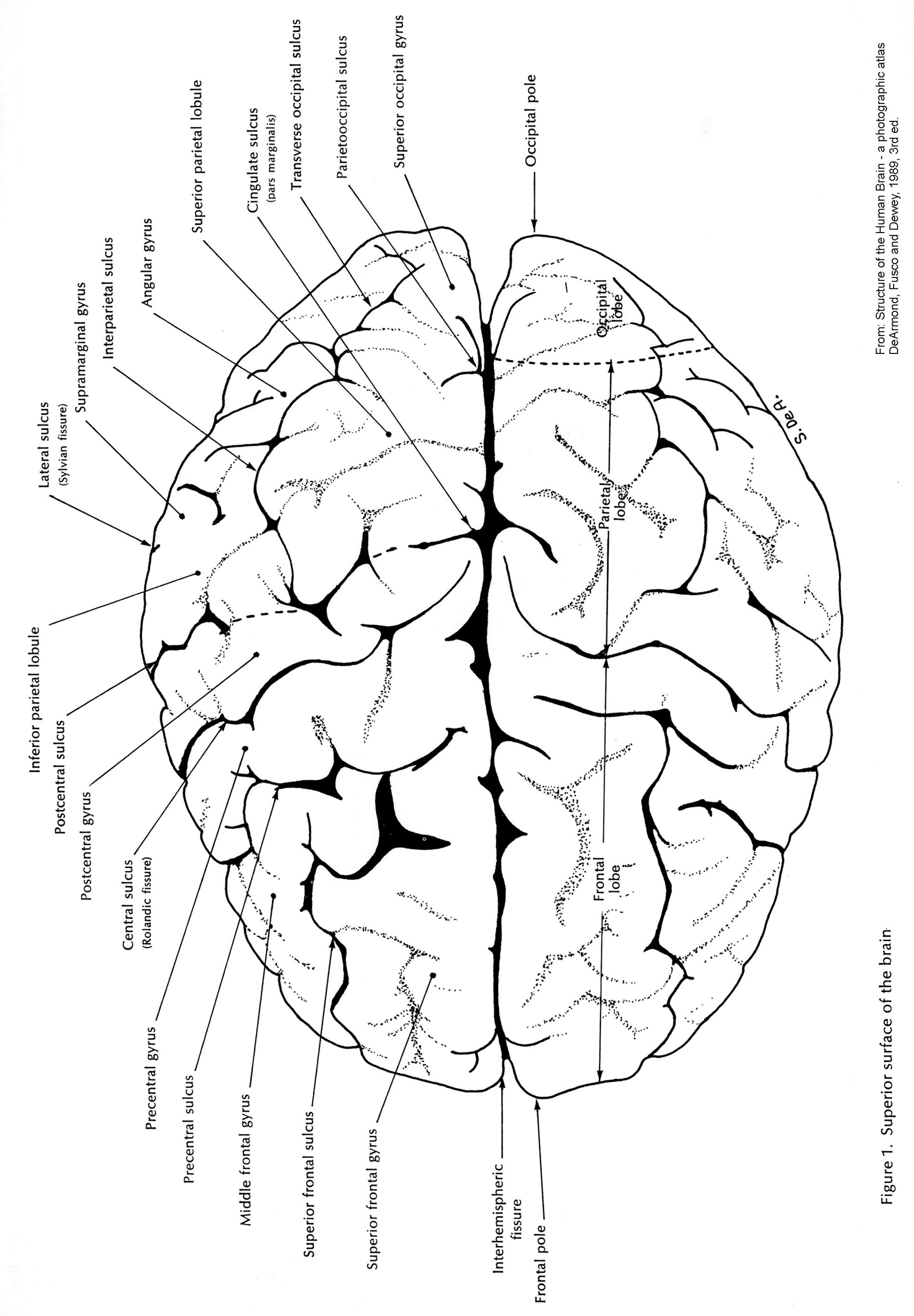 Brain And Its Parts Drawing At Getdrawings