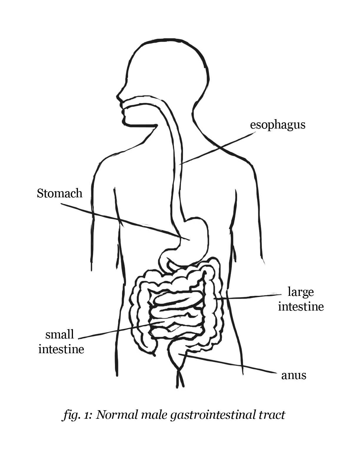 Digestive System Drawing At Getdrawings