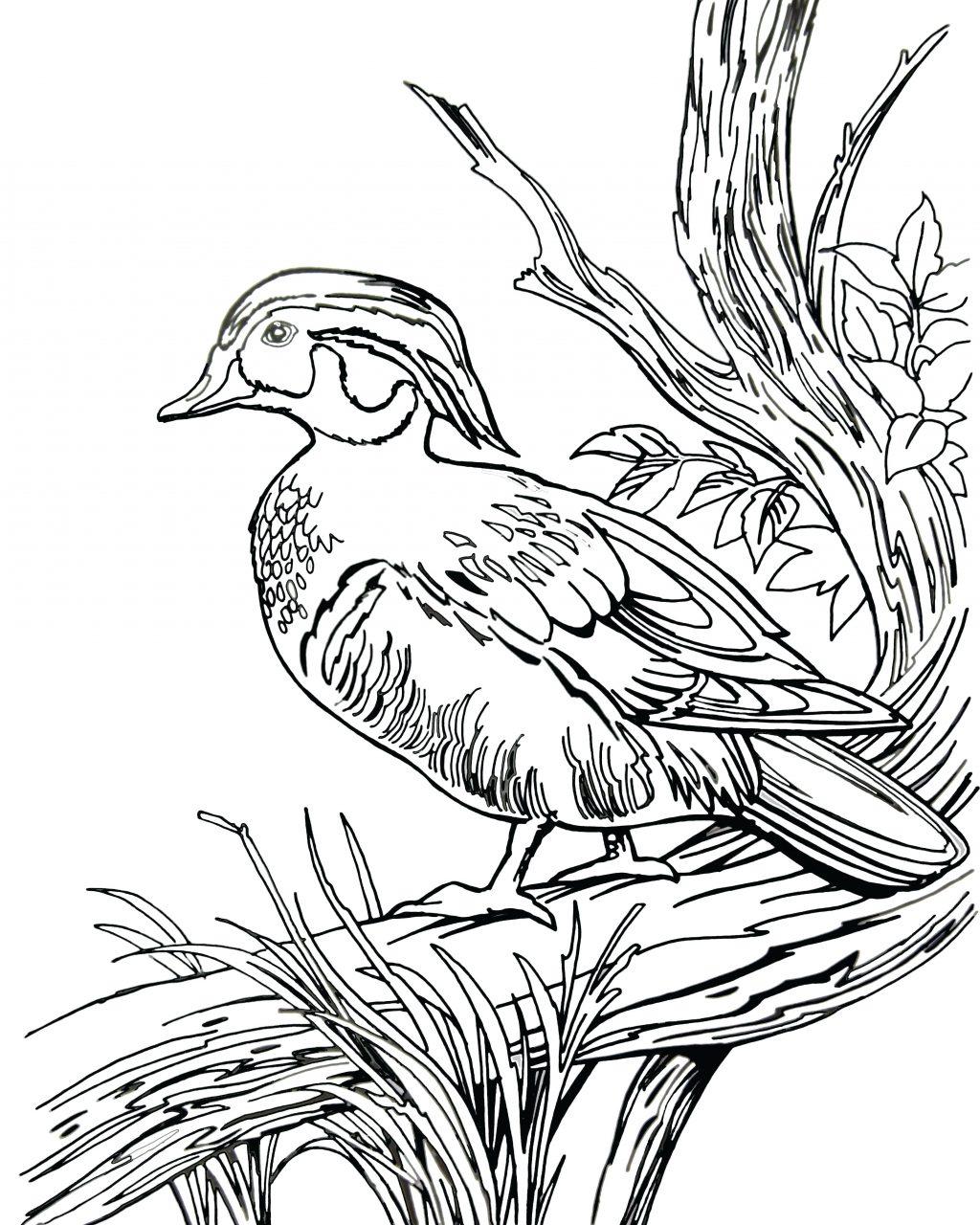 Duck Hunting Drawing At Getdrawings