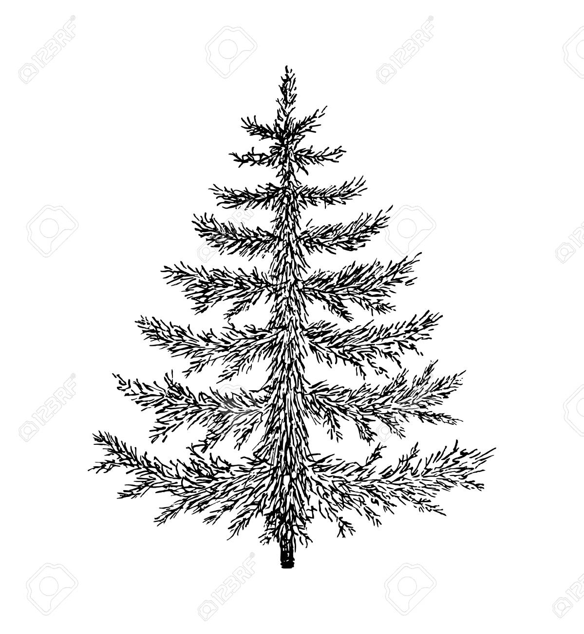 Evergreen Tree Drawing At Getdrawings