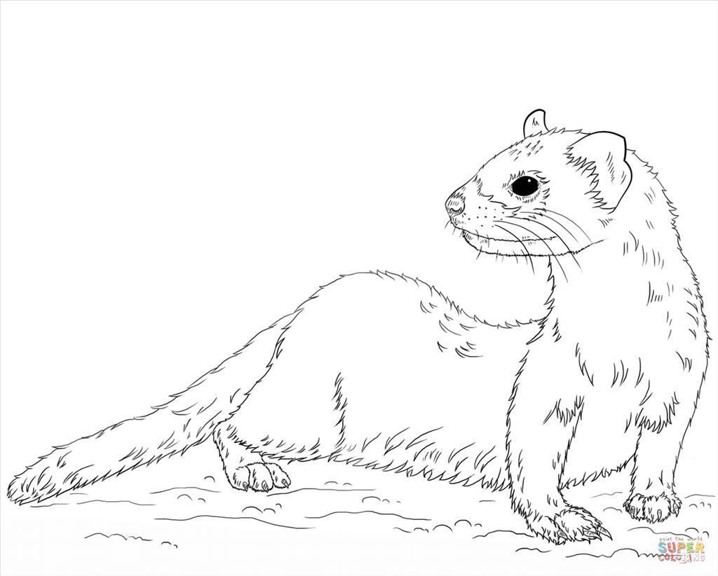 Ferret Drawing At Getdrawings