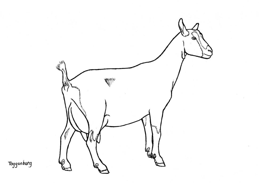 Goat Face Drawing At Getdrawings