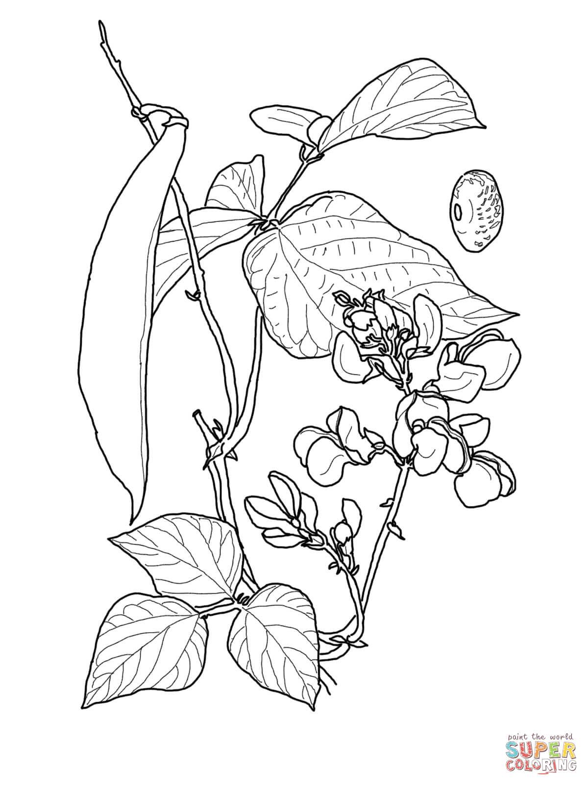 Green Beans Drawing At Getdrawings