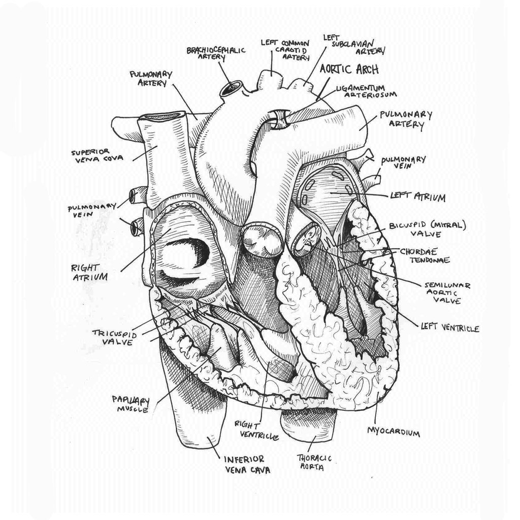Heart Anatomy Drawing At Getdrawings