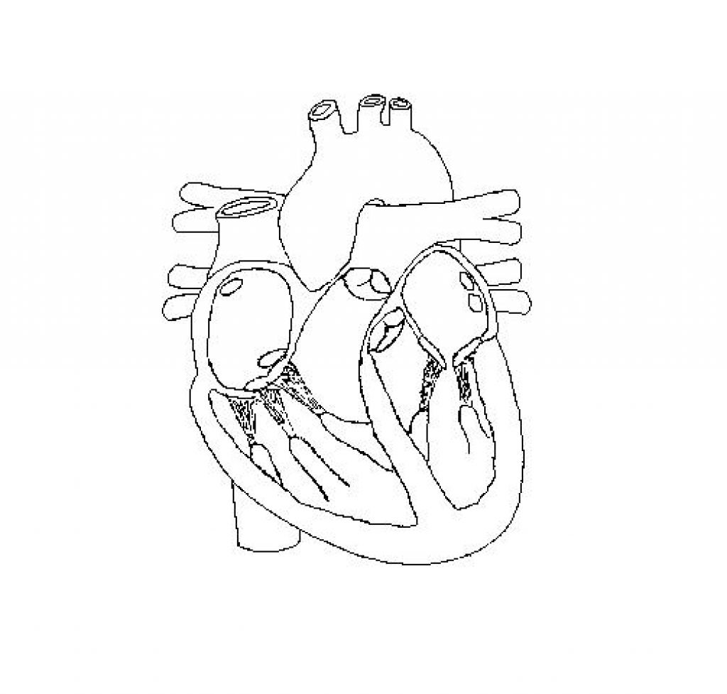 Heart Diagram Drawing At Getdrawings