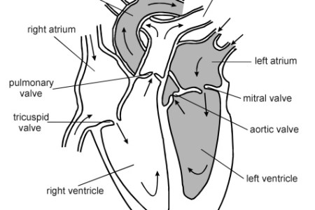 Interior easy human drawing 4k pictures 4k pictures full hq heart steps with pictures wikihow uploaded months ago easy way to draw human ear youtube easy way to draw human ear structure of the human heart youtube ccuart Image collections