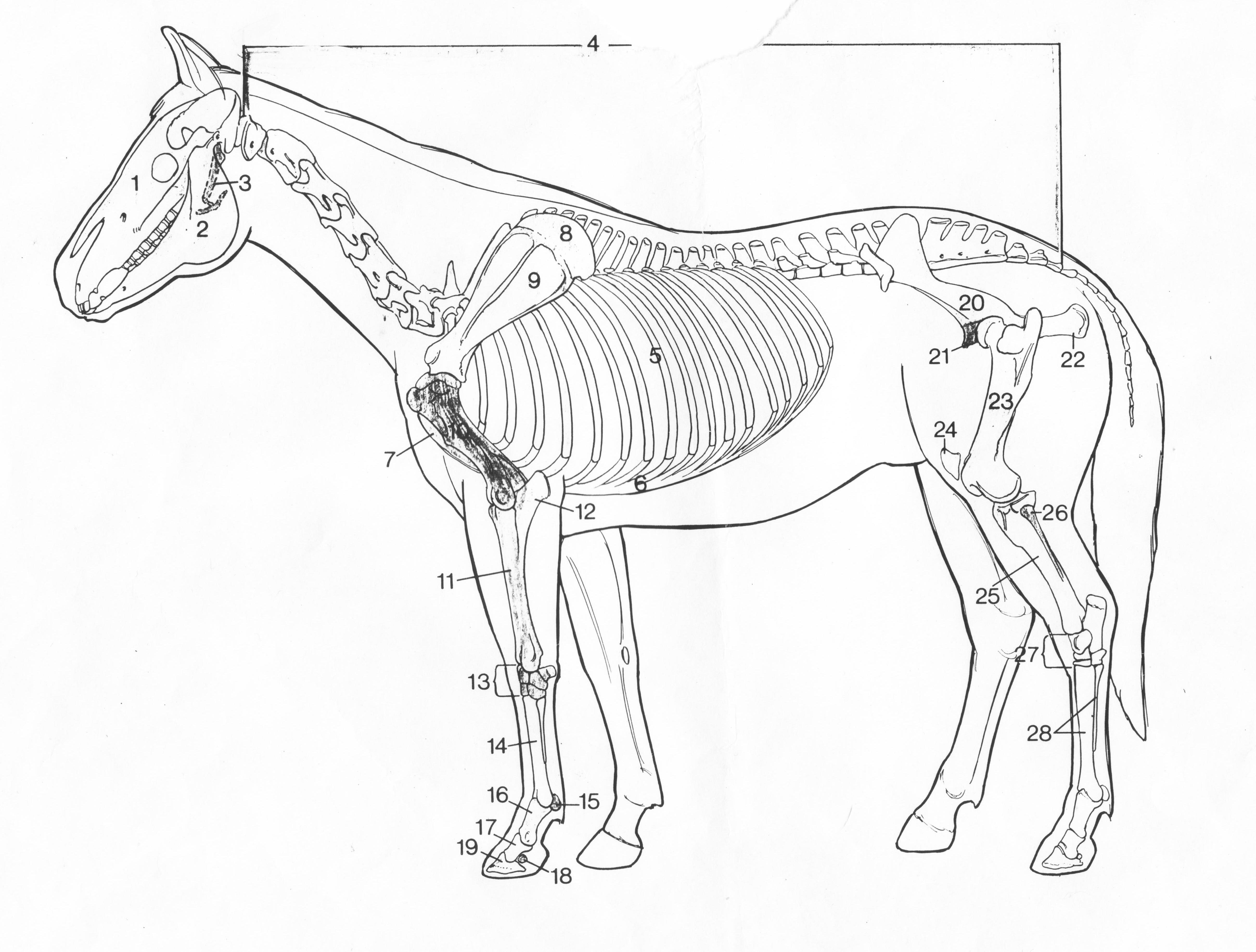 Horse Skeleton Drawing At Getdrawings
