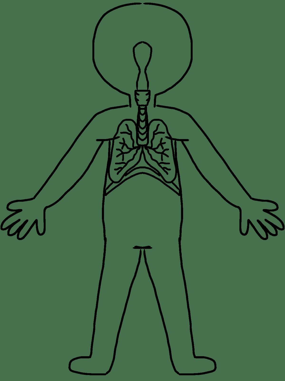 Human Body Line Drawing At Getdrawings