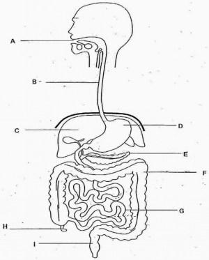 Human Digestive System Drawing at GetDrawings | Free