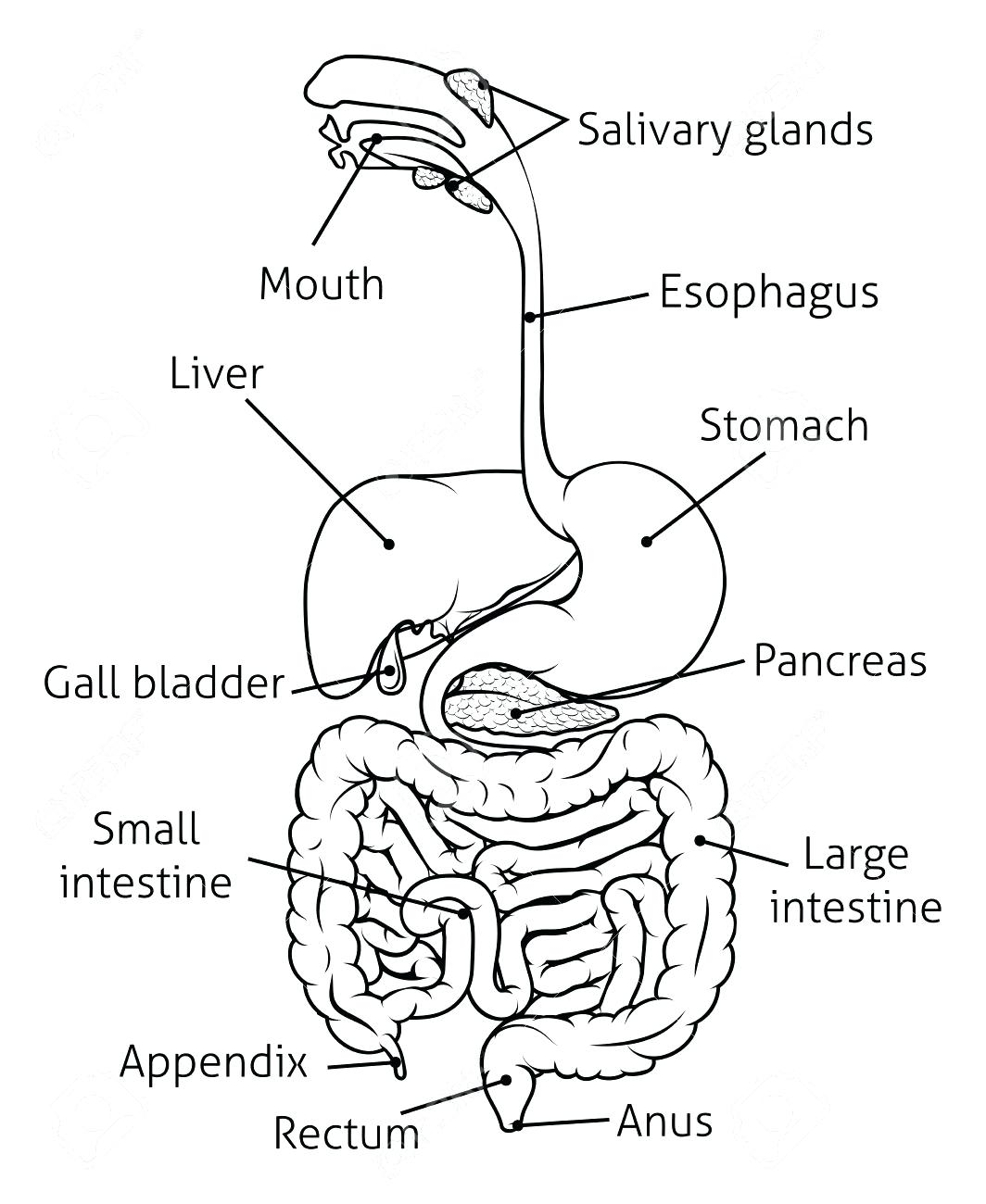 Human Digestive System Drawing At Getdrawings