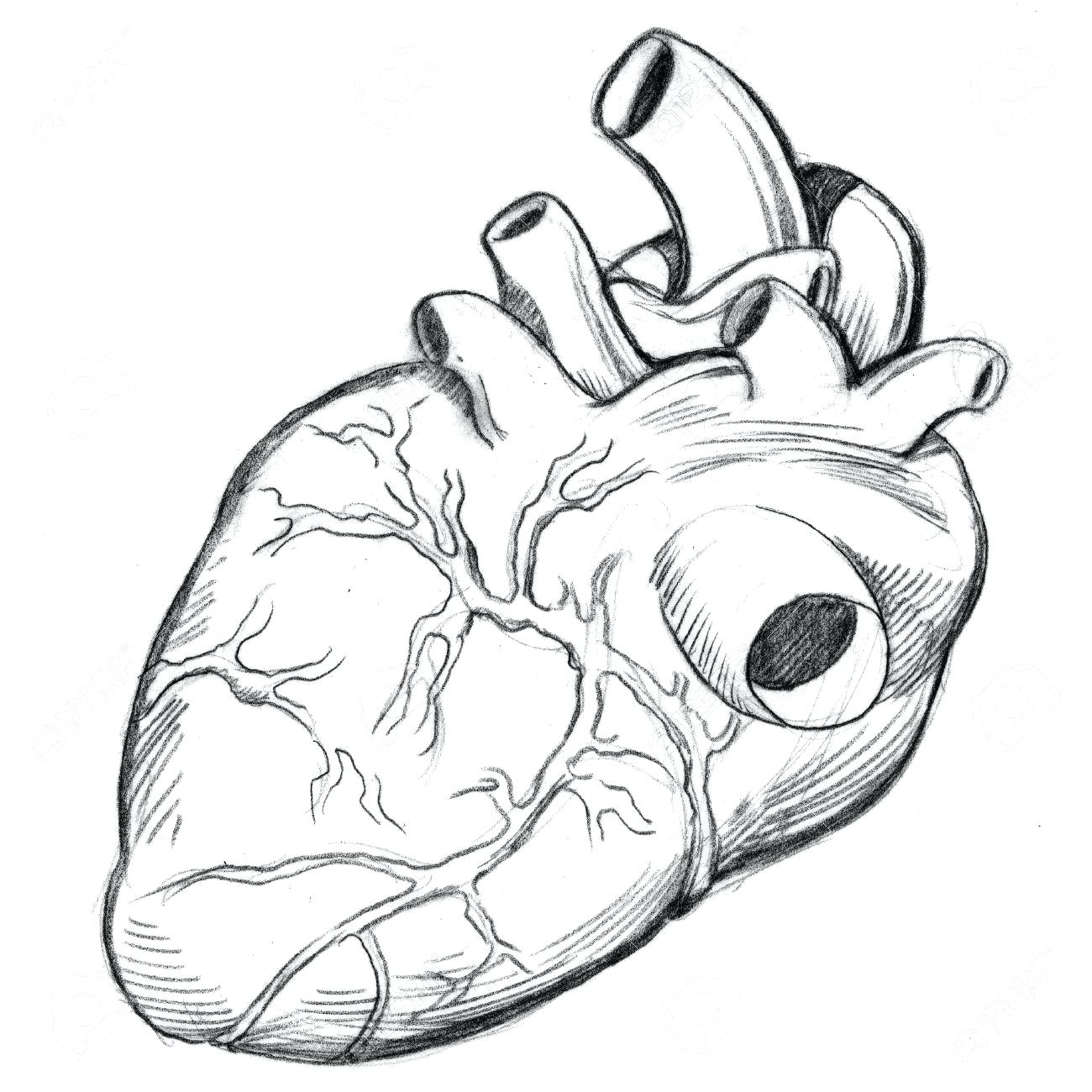Human Heart Anatomy Drawing At Getdrawings