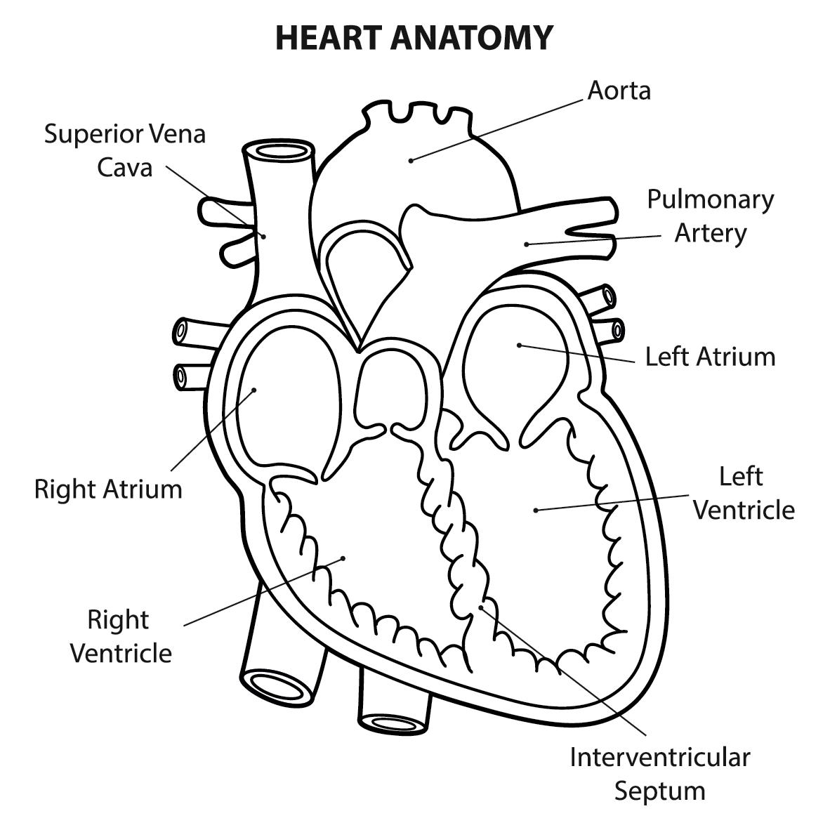 Human Heart Drawing Images At Getdrawings
