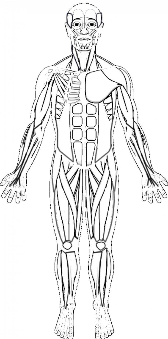 anatomy muscle worksheet coloring pages