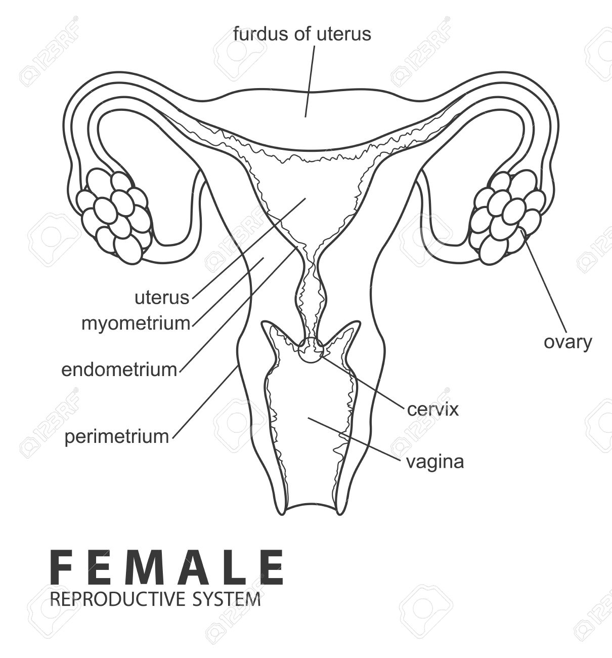 The Best Free Reproductive Drawing Images Download From